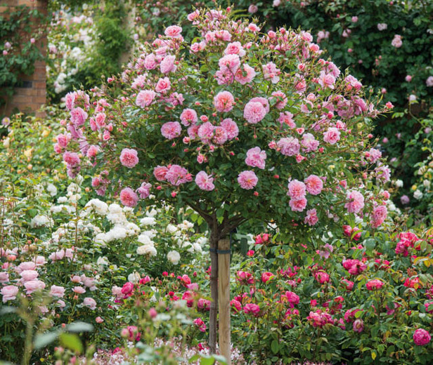 via https://www.gardenia.net/guide/Underplanting-Roses