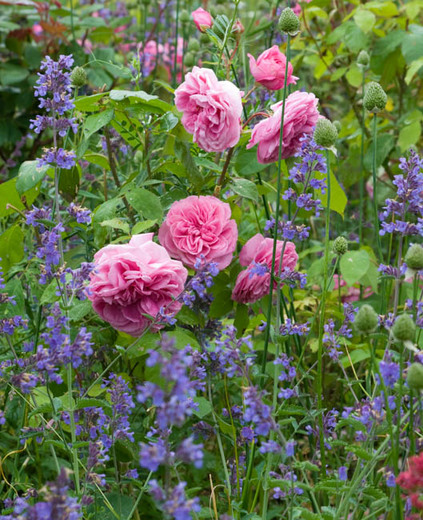 via https://www.gardenia.net/garden/a-fabulous-duo-rose-gertrude-jekyll-nepeta-six-hills-giant