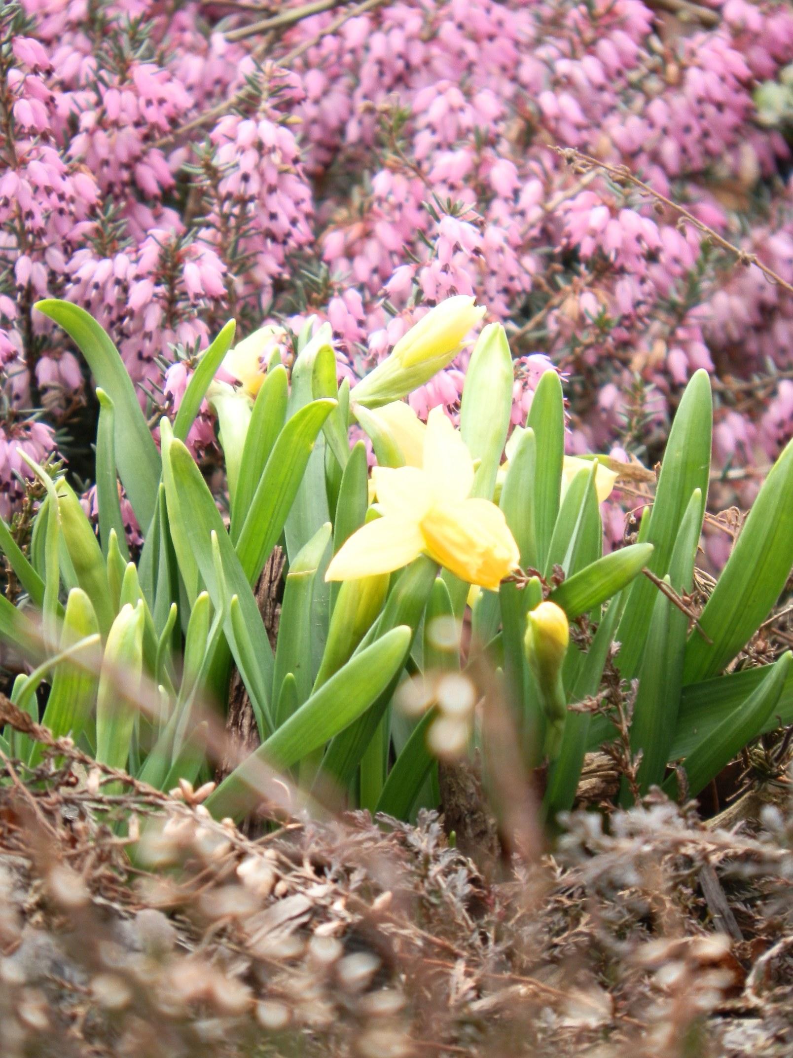 Časně jarní zahrada je ve znamení jarních okrasných cibulovin, které se mají docela čile k světu i ve vřesovišti, které je na jaře rovněž velmi působivé.