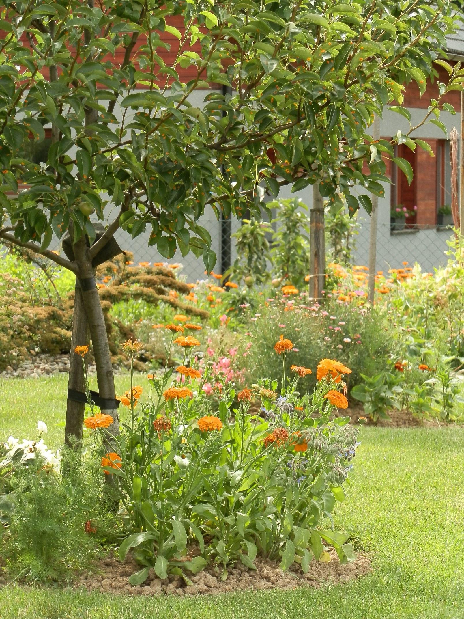 Letničková výsadba v polovině července. Pokud máte problém s výběrem místa pro letničkový záhon, zkuste to třeba v odtravněných kruzích pod ovocnými stromy. Tato místa (tzv. závlahové mísy) by měla být udržována bez travního porostu, který je především u mladých stromků velkým konkurentem ubírajícím živiny a vláhu. Letničky jsou vhodnějším a navíc i velmi estetickým řešením.