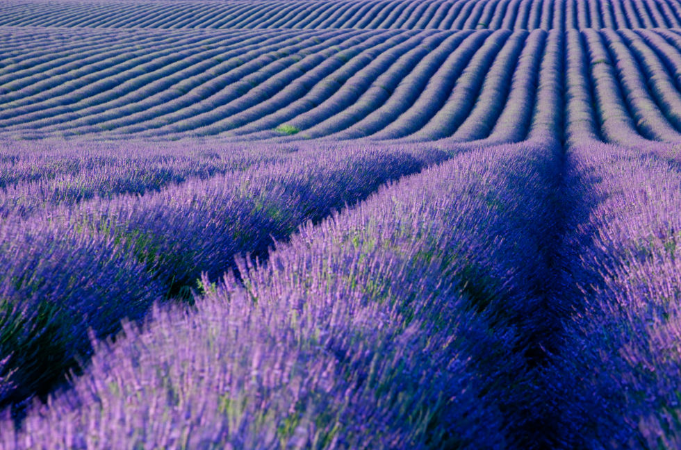 via http://www.countryliving.com/gardening/g2525/lavender-facts/