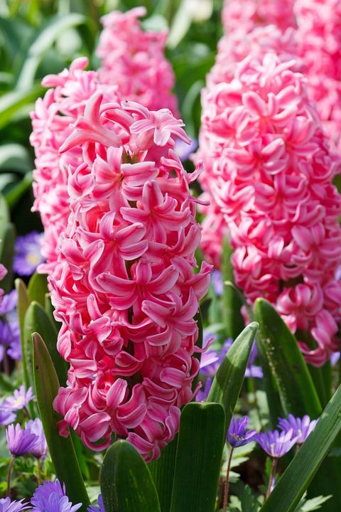hyacinth-19211_960_720