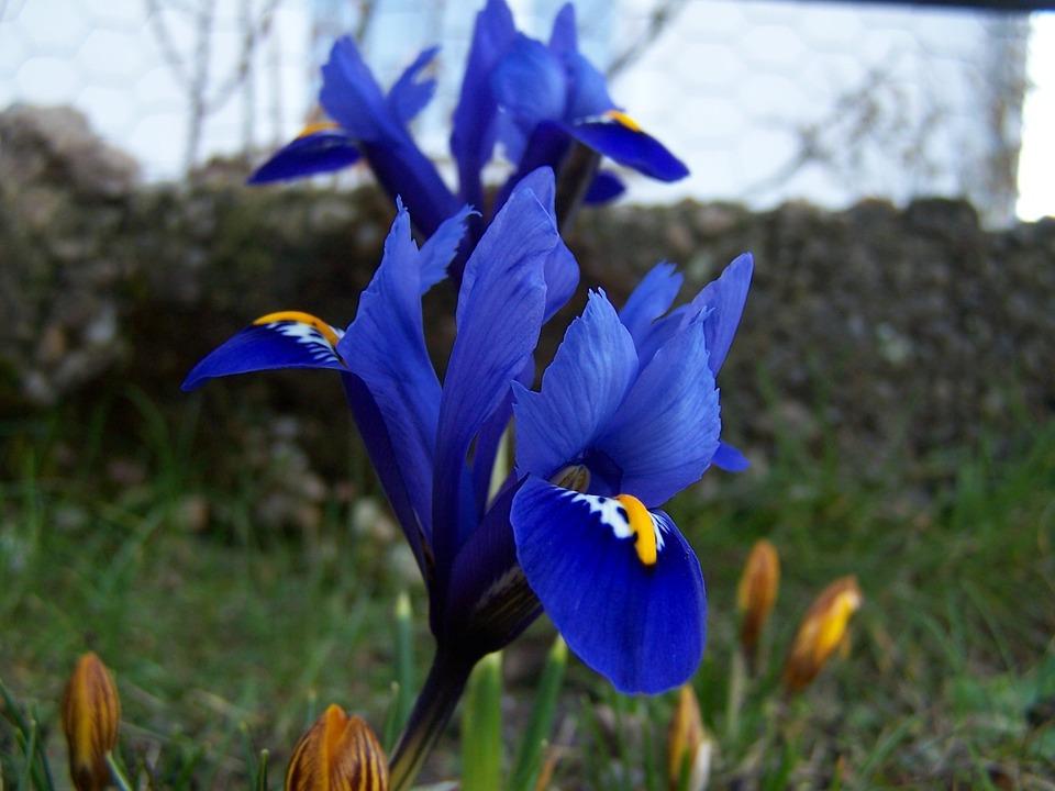iris-breeding-221313_960_720