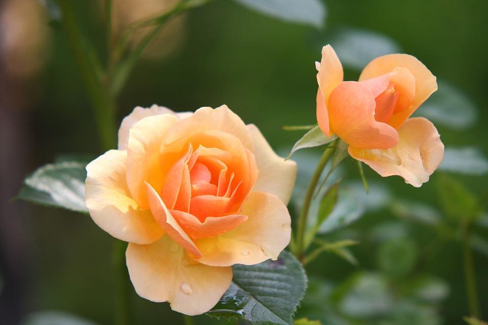 rose-616013_960_720