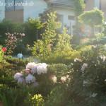 Péče o rododendrony po odkvětu