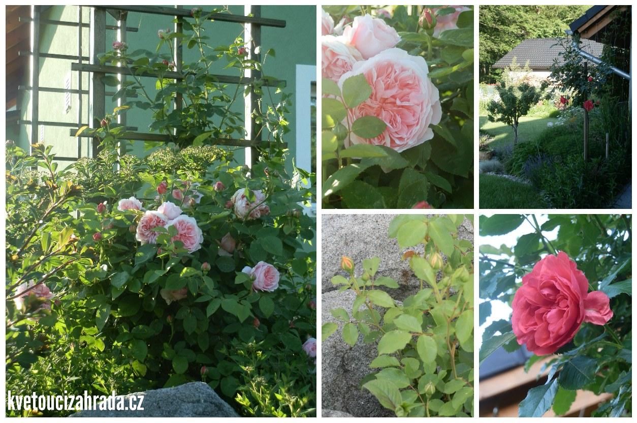 Růže začátkem června 2016_3b