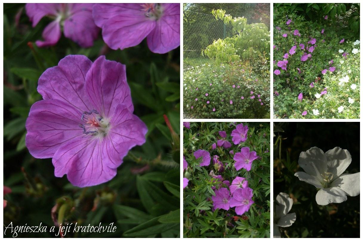 Zahrada polovina června 2016_14