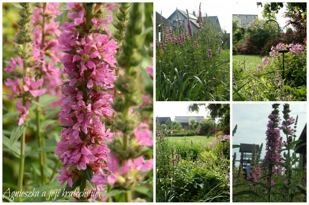 Zahrada přelom červen a červenec 2016_12
