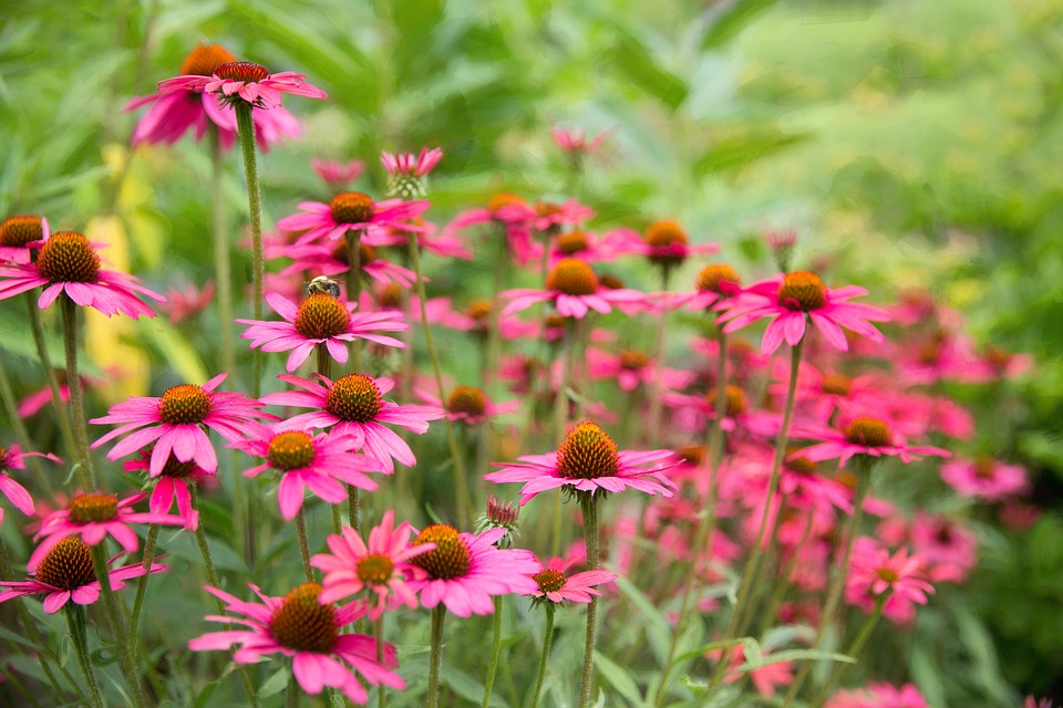 daisies-1543690_960_720