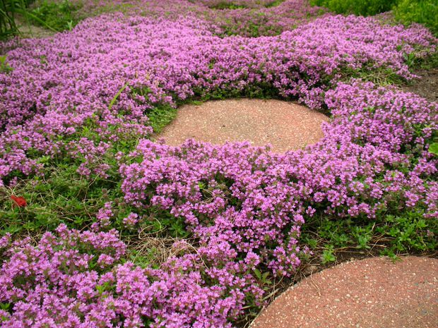 Via http://www.thegardenglove.com/stepables-perfect-plants-for-paths-and-walkways/, mateřídouška (Thymus praecox)