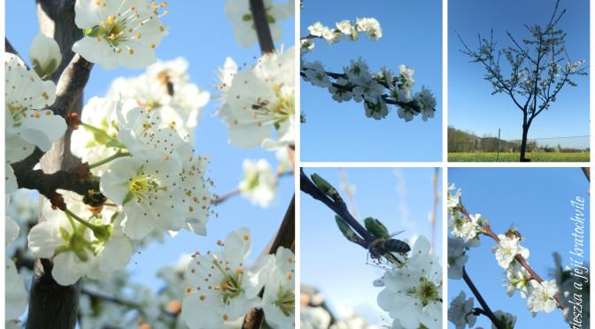 Už kvetou…