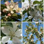 Naše mladé jablůňky…