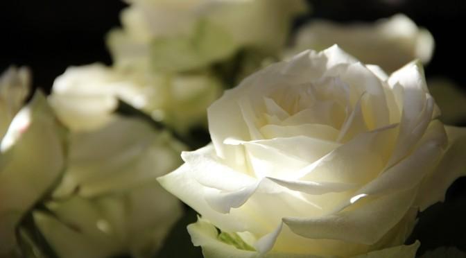 Jak je to s růží – královnou květin…