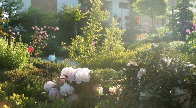 Jak pečovat o rododendrony po odkvětu?
